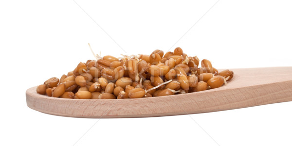 Sprouted wheat grain closeup on white background Stock photo © g215