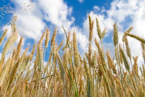Campo de trigo comida beleza campo milho Foto stock © g215
