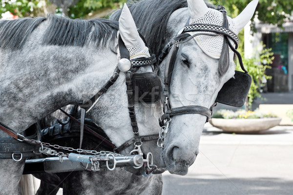 Horses in harness on a city street  Stock photo © g215