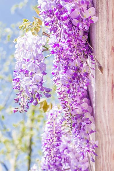 Voorjaar seizoen japans bloemen boom blad Stockfoto © g215