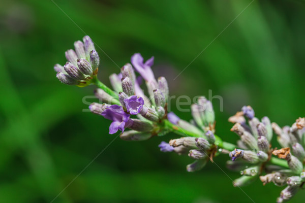 Lavender flowers close-up Stock photo © g215