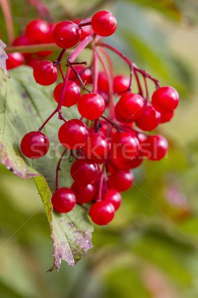 красный осень ягодные текстуры лист фрукты Сток-фото © g215