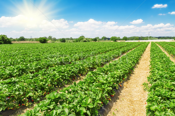 Strawberry plantation on a sunny day Stock photo © g215