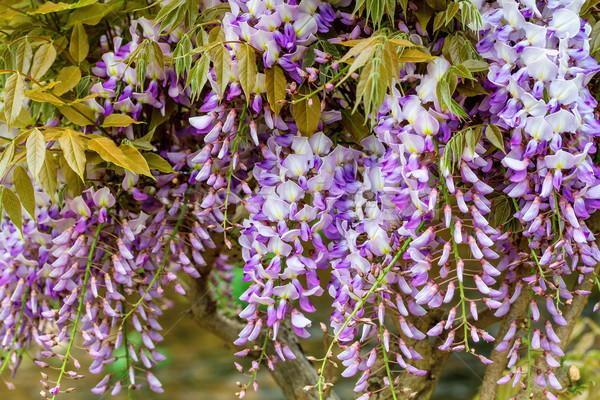 Beautiful blue wistaria Stock photo © g215