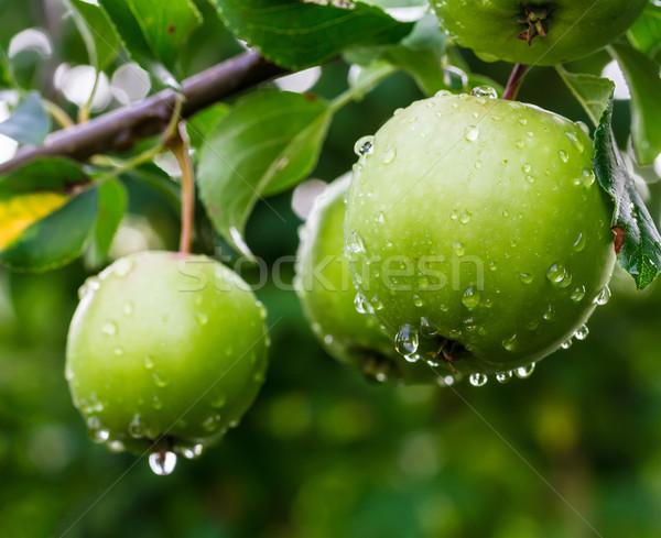 зеленый яблоки филиала саду дерево природы Сток-фото © g215