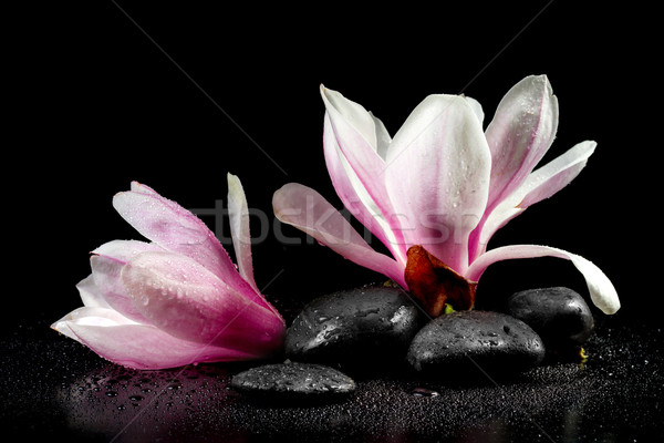 Magnolia Flowers and zen stones on the black background Stock photo © g215