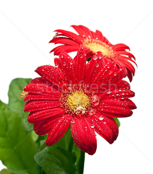 Drop dauw water natuur Rood daisy Stockfoto © g215