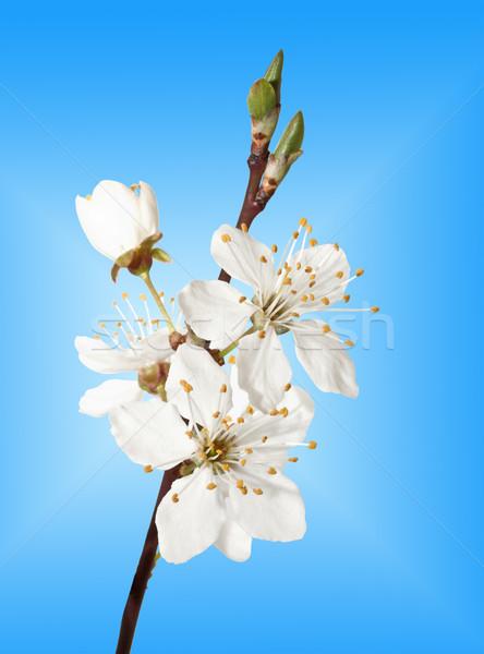 Stok fotoğraf: şube · mavi · gökyüzü · çiçek · ağaç · güzellik