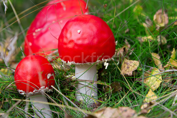 Red amanita in the forest. Stock photo © g215