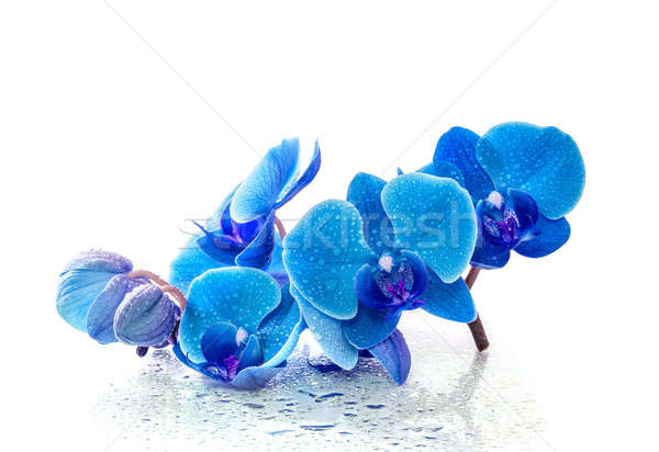 Blue orchid with reflection in water on white background Stock photo © g215
