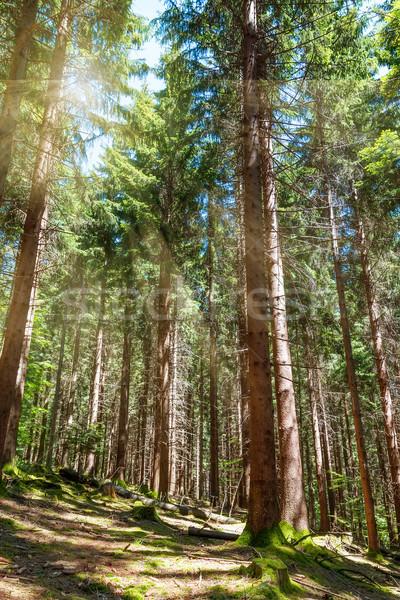 Gyönyörű reggel jelenet erdő nap sugarak Stock fotó © g215