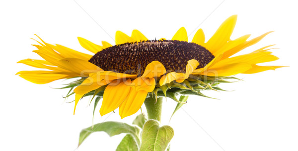 Girassol branco sol beleza verão cor Foto stock © g215