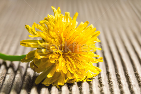 Dandelion on a wooden background. Stock photo © g215