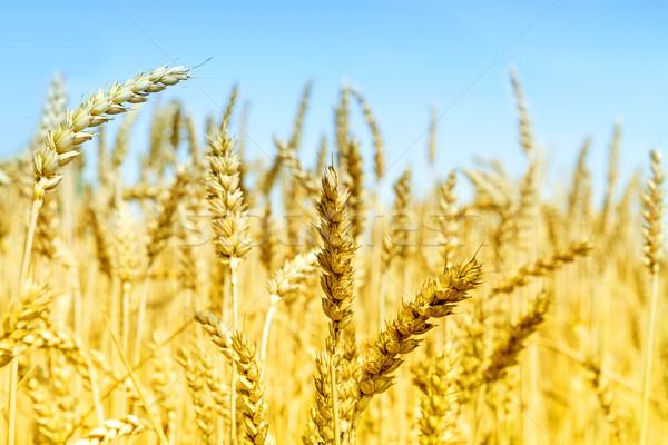 Búzamező napos idő mező kék farm búza Stock fotó © g215