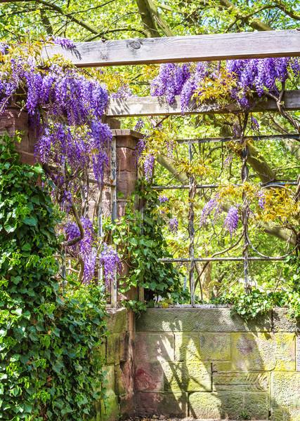 Spring season. Japanese wisteria flowers. Stock photo © g215