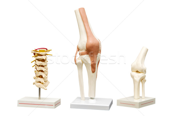 Anatomical models of the joints. Isolate on white background Stock photo © g215