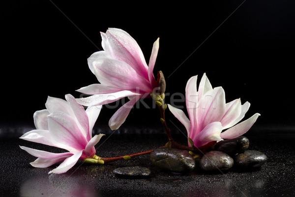 Magnólia flores zen pedras preto cor Foto stock © g215