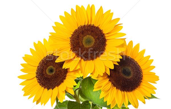 подсолнечника белый солнце красоту лет цвета Сток-фото © g215