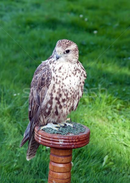 Falcon natura uccello divertimento esercizio parco Foto d'archivio © g215