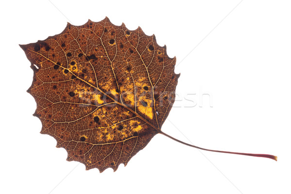Colorful Fall leaf isolated on white. Stock photo © gabes1976