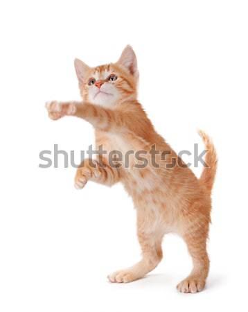 Orange kitten standing and playing on white. Stock photo © gabes1976