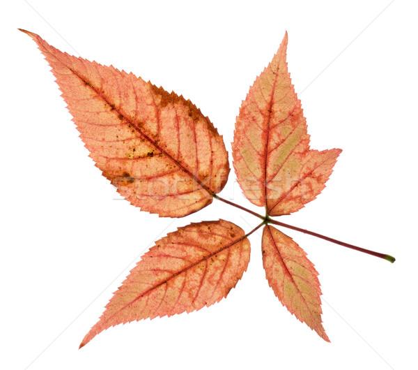 Stockfoto: Kleurrijk · vallen · bladeren · geïsoleerd · witte · natuur