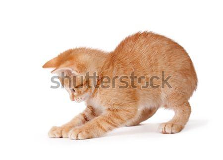 Сток-фото: оранжевый · котенка · играет · белый · Cute · большой
