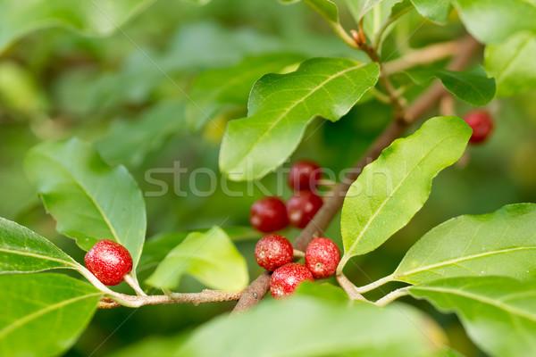 Ripe Autumn Olive Berries (Elaeagnus Umbellata) growing on a bra Stock photo © gabes1976