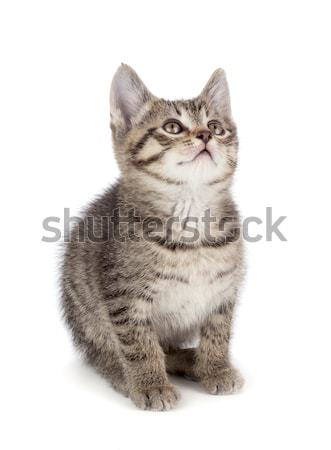Cute striped kitten on a white background. Stock photo © gabes1976