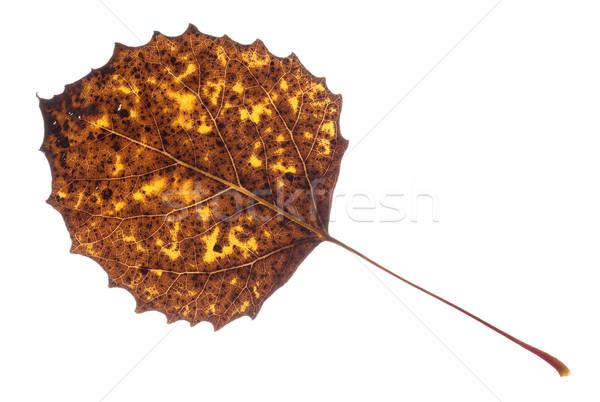 Kleurrijk vallen blad geïsoleerd witte bos Stockfoto © gabes1976