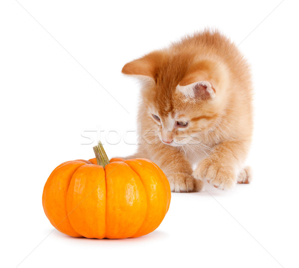 Stock photo: Cute orange kitten playing with a mini pumpkin on white.