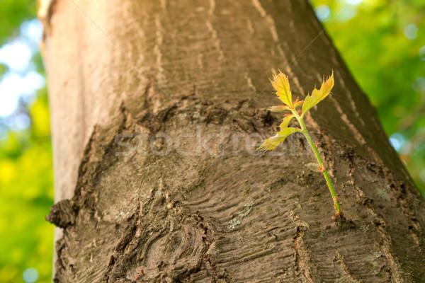 Nieuwe tak groeiend boom oude voorjaar Stockfoto © gabes1976