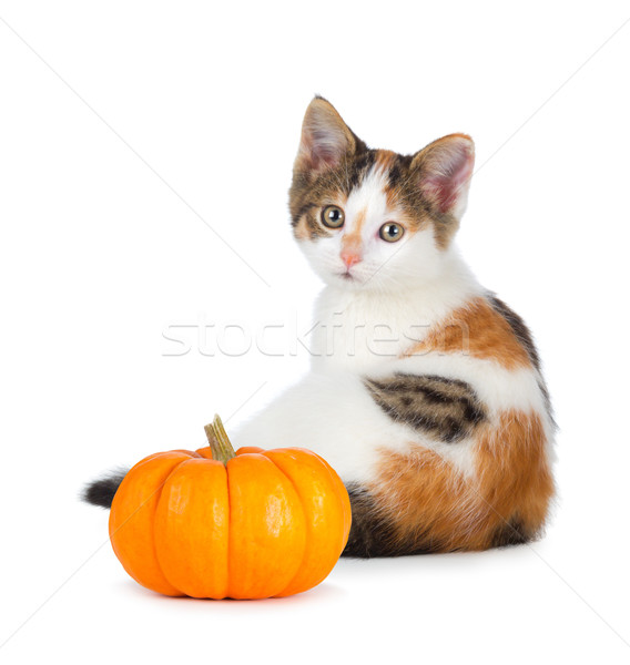 Stock photo: Cute calico kitten with mini pumpkin on white.