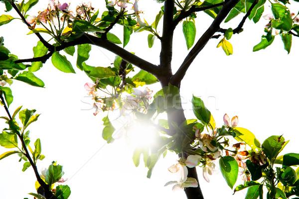 Très tôt printemps arbre soleil fleur nature Photo stock © gabor_galovtsik