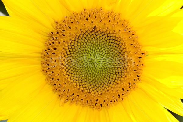 Zonnebloem midden Geel horizontaal zomer Stockfoto © Gbuglok