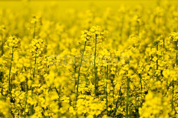 Bereich Vergewaltigung voll gelb Saatgut Hintergrund Stock foto © Gbuglok