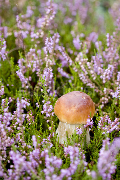 Small mushroom in heather Stock photo © Gbuglok