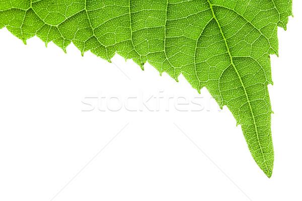 Green leaf isolated on white Stock photo © Gbuglok