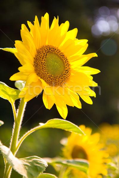 Zonnebloem plant natuur mooie Geel macro Stockfoto © Gbuglok