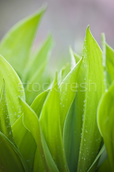 Gigli pioggia gocce focus fresche verde Foto d'archivio © Gbuglok
