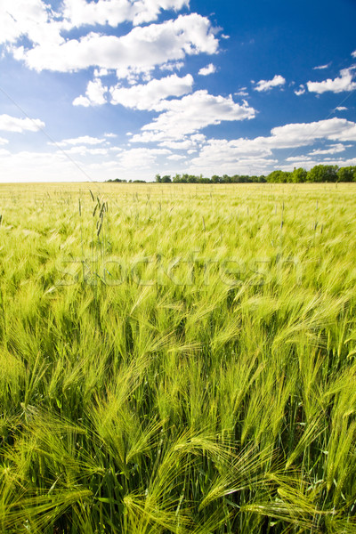 Field of crop Stock photo © Gbuglok