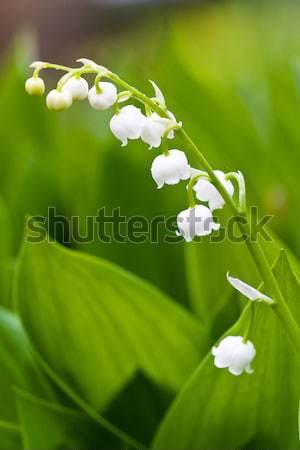 Witte lelies bloemen groene tuin achtergrond Stockfoto © Gbuglok