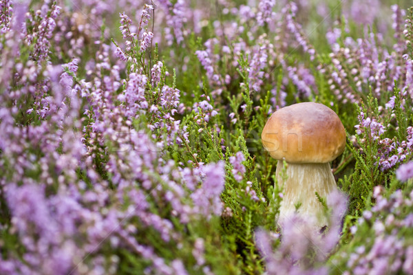 Mushroom in heather Stock photo © Gbuglok