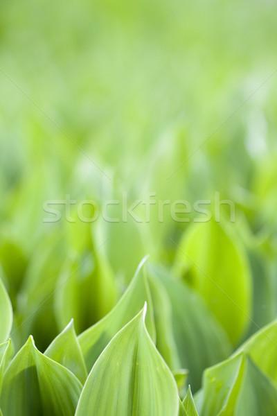 Fresh green leafs Stock photo © Gbuglok