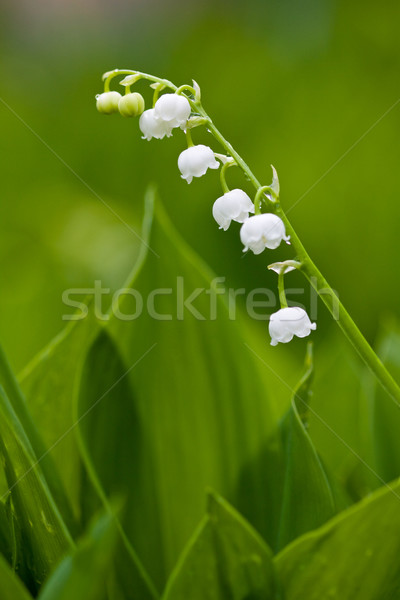 Small lilies of the valley Stock photo © Gbuglok