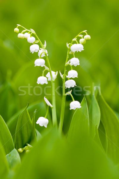 Blanche vallée faible fleurs du printemps nature Photo stock © Gbuglok