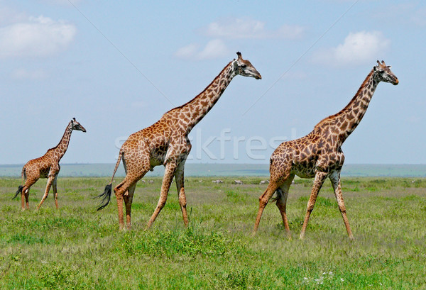 Trois girafes savane marche africaine vert Photo stock © Gbuglok