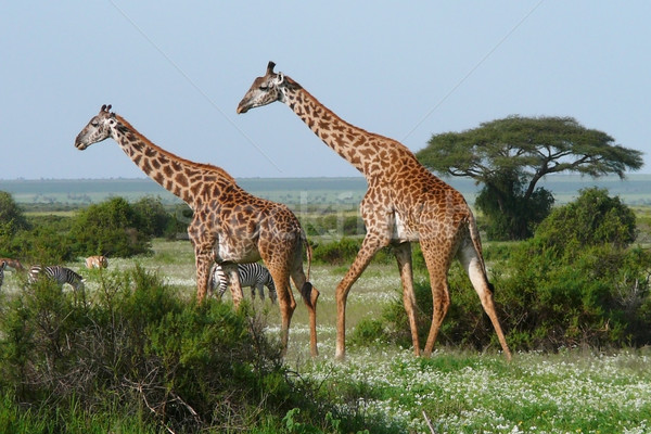 Deux girafes africaine savane marche vert Photo stock © Gbuglok