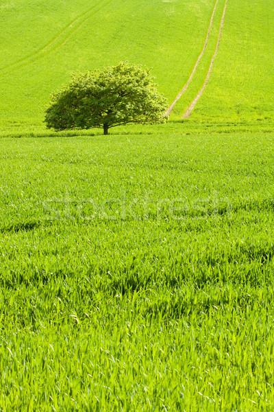 緑の木 小 ツリー フィールド 緑の草 自然 ストックフォト © Gbuglok