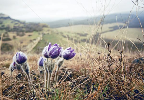 Fioletowy kwiaty górskich wody wiosną piękna Zdjęcia stock © GekaSkr